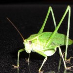 Katydid photo from publicdomainpictures.net